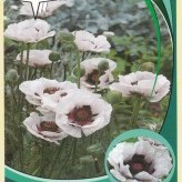Papaver or. 'Perry's White'