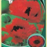 Papaver or. 'Türkenlouis'