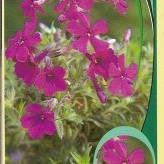 Phlox (S) 'Fort Hill'