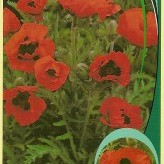 Papaver or. 'Indian Chief'