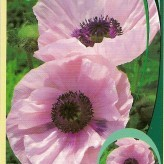 Papaver or. 'Karine'
