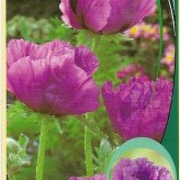 Papaver or. 'Patty's Plum'
