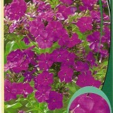 Phlox (P) 'The King'
