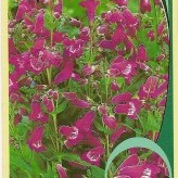 Penstemon 'Polaris Purple'®