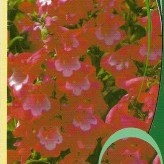 Penstemon 'Polaris Red'®