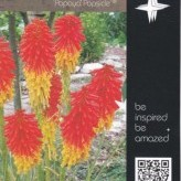 Kniphofia 'Papaya Popsicle' ®