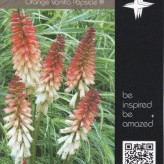 Kniphofia 'Orange Vanilla Popsicle' ®