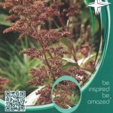 Rodgersia pinn. 'Chocolate Wings' ®