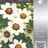 Coreopsis 'Snowberry' ®