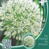 Allium kar. 'Ivory Queen'