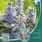 Ajuga rept. 'Black Scallop' ®
