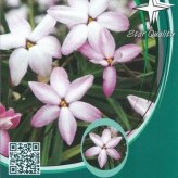 Rhodoxis 'Fairy Kisses' ®