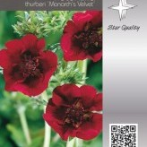 Potentilla th. 'Monarch's Velvet'