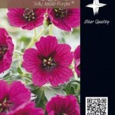 Geranium 'Jolly Jewel Purple' ®