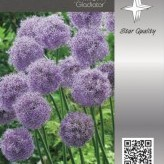 Allium 'Gladiator'